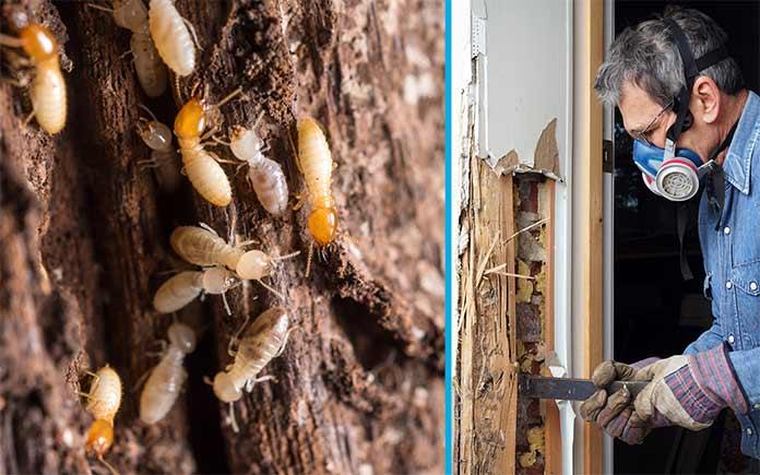 Daños en la casa de las termitas, visto junto a un trabajador de control de plagas quitando las termitas
